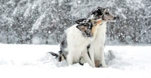 2 Dogs playing in the snow in Salt Lake City